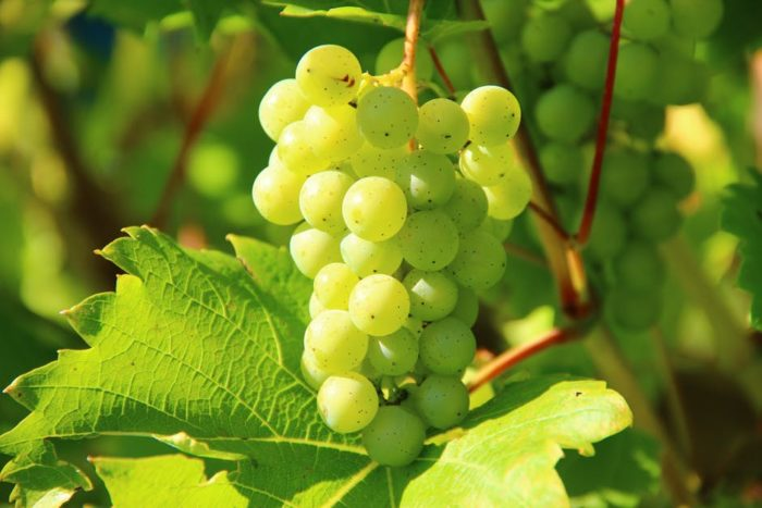 Salon des vignerons bio de Rhône-Alpes : raisins blancs