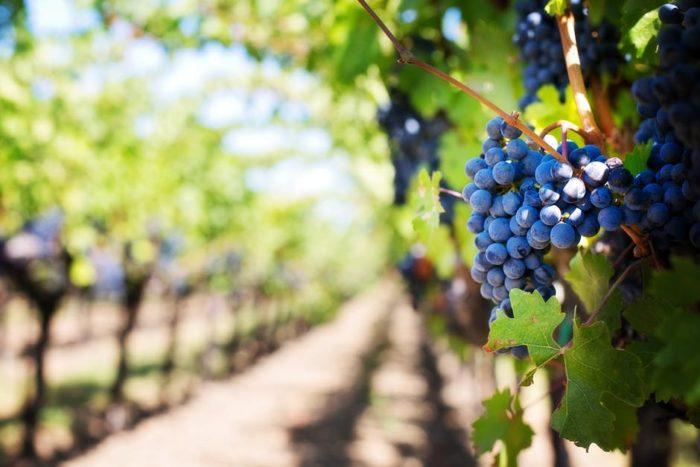 Salon des vignrons bio de Rhône-Alpes - raisins noirs