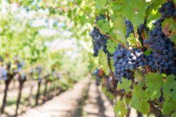 Vins naturels : un cahier des charges exigeant